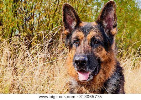 Dog German Shepherd Outdoors In An Autumn