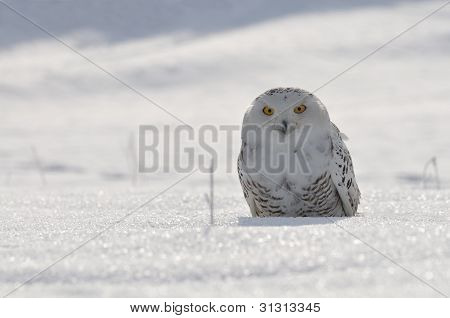 snowy owl sitting on the snow field poster