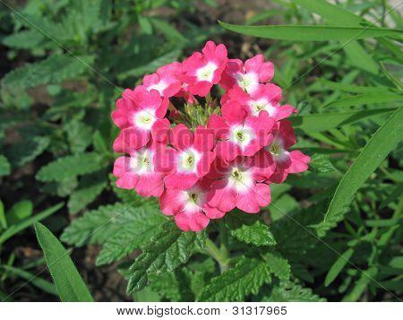 Pink Primula Auricula