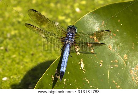 The Blue Dasher (pachydiplax Longipennis),dragonfly Sitting On The Water Lily Leaf