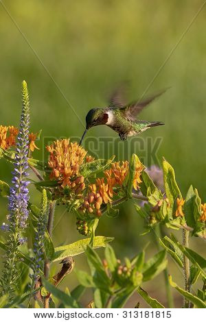 The Ruby-throated Hummingbird (archilochus Colubris) Drinks Nectar From A Flowering Butterfly Weed (