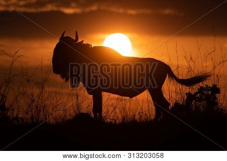Blue Wildebeest Silhouetted At Sunset Flicking Tail