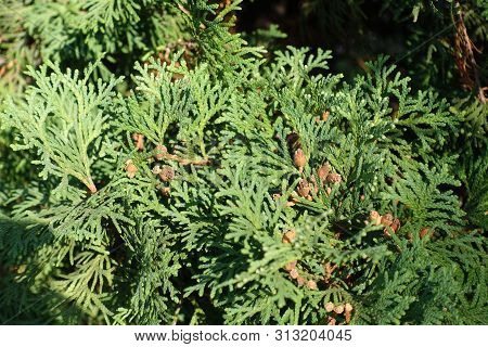 Green Feathery Leaves And Brown Cones Of Thuja Occidentalis In October