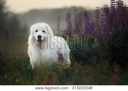 Happy Maremma Sheepdog. Big White Dog Breed Maremmano Abruzzese Shepherd Standing In The Field Of Lu
