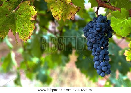 Ripe Red Wine Grapes and Vines