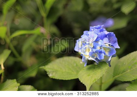 Hydrangea In Kamakura, Kanagawa, Japan (one Light Blue Flower)