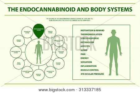 The Endocannabinoid And Body Systems Horizontal Infographic, Healthcare And Medical Illustration Abo