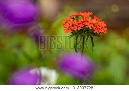 Lychnis. Bright red flower on a green natural background. Cross-shaped flowers poster