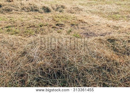 Drying Grass In Rows For The Harvesting Of Hay As A Cattle Feed. The Photo Was Taken On A Sunny Mori
