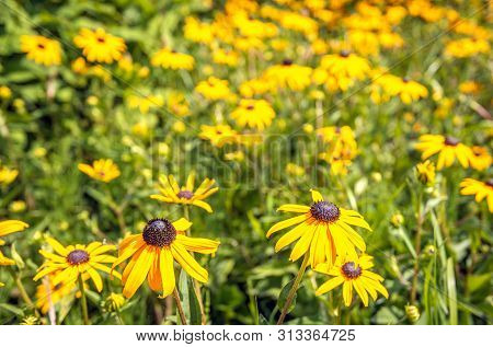 Blooming Black-eyed Susan Or Rudbeckia Hirta In The Foreground Of A Flowerbed. The Photo Was Taken O