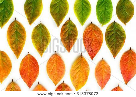Multicolored Dry Autumn Leaves On White Background.
