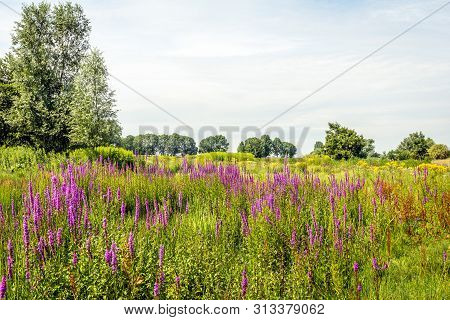 Picturesque Image Of Many Flowering Purple Loosestrife Or Lythrum Salicaria Plants In The Foreground