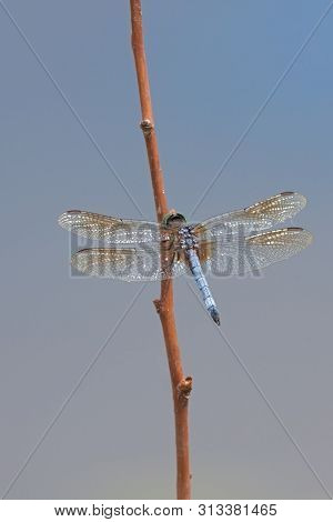 A Vibrant Blue Abdomen, Metallic Green Eyes And Brown Tinted Wings Define A  Blue Dasher Dragonfly.