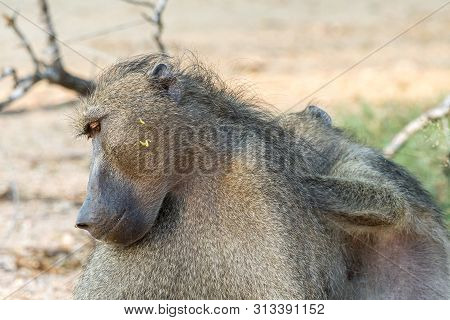 A Chacma Baboon, Papio Ursinus, Being Groomed By Another Baboon