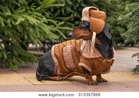 Cute Dog Breed Dachshund, Black And Tan, In A Winter Hat And Sweatshirt At Christmas Market In The S