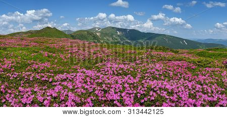 Blossoming Slopes Of Carpathian Mountains With Pink Rhododendron Flowers, Chornohora, Ukraine. Summe