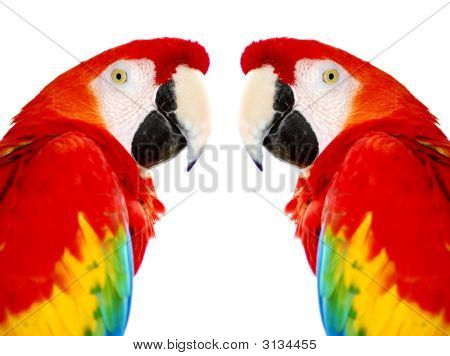 Golden Red Macaw
