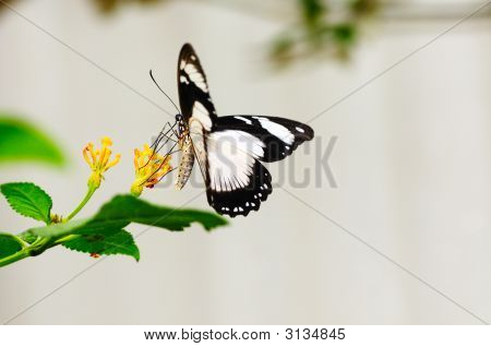 Papilio Dardanus Butterfly