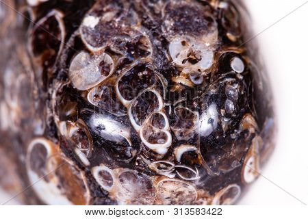 Macro Mineral Agate Fossil Fossilized With Fossilized Turtles On White Background