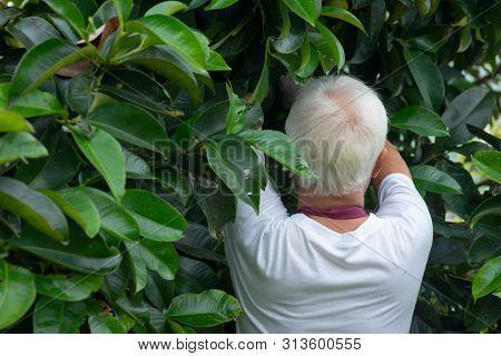Farmer examining mangoesteen tree in orchard.