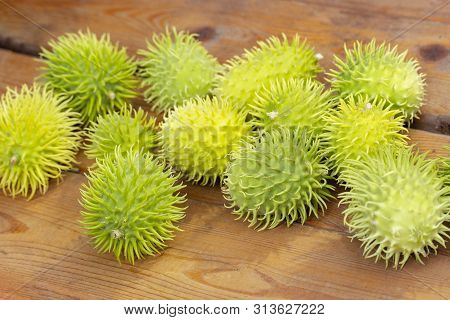 Fruits Of African Wild Cucumber Cucumis Anguria, Fluffy Prickly Exotic Cucumbers On A Wooden Table,