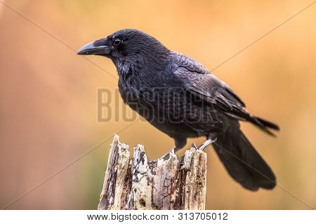 Carrion Crow (corvus Corone) Black Bird Perched On Tree Trunk On Bright Background And Looking At Ca