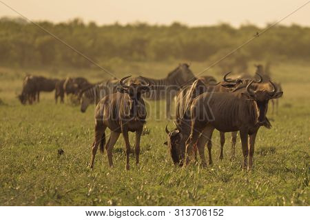 Common Blue Wildebeest or Brindled Gnu (Connochaetes taurinus) herd grazing at sunset in Mooiplaas river bed in bushveld savanna of Kruger national park South Africa poster