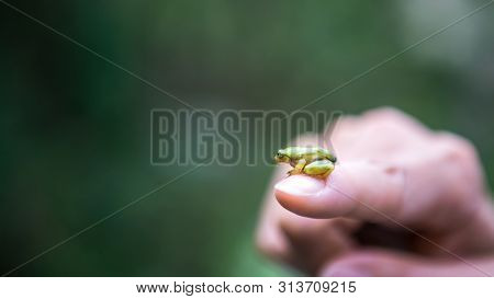 Close-up Of Small Forest Frog Toad, Sitting On The Finger Woman In Taiwan