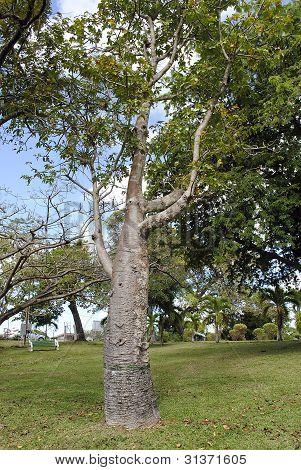Adansonia digitata Bottle Tree