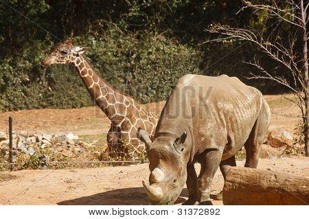 Rhinocerous And Giraffe