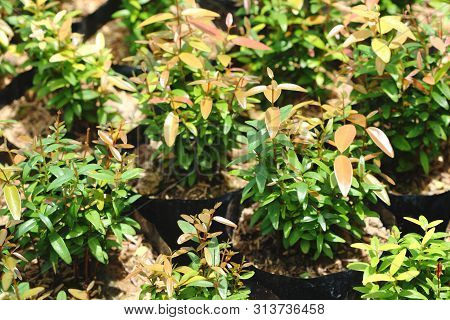 Syzygium Gratum  (wight) S.n. Mitra Var. Gratum Tree At Tree Shop In Thailand. It Is Herb And Food,