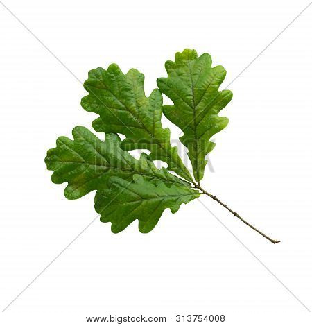 Branch Of Oak With Leaves Isolated On White. Medicinal Plant Oak (quercus). In Herbal Medicine Used