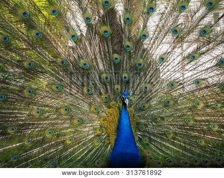 Indian Peafowl Or Blue Peafowl (pavo Cristatus) With Open Tail In The Yard Of The Park Zoo Close Vie