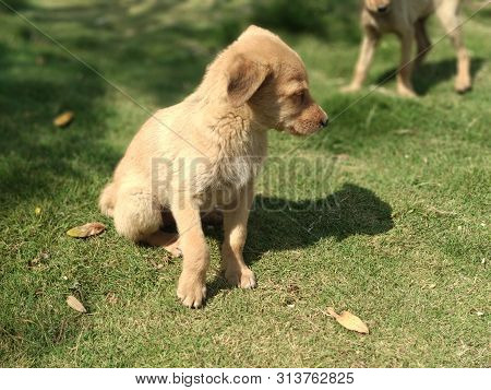 A Picture Of Puppies From India. Two Puppies Playing In Park.