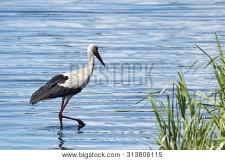 poster of A beautiful white stork with black wings and a long neck and a long red beak stands on the green bank of the river. The migratory bird migrates to Europe and Africa. A large white bird with long legs.