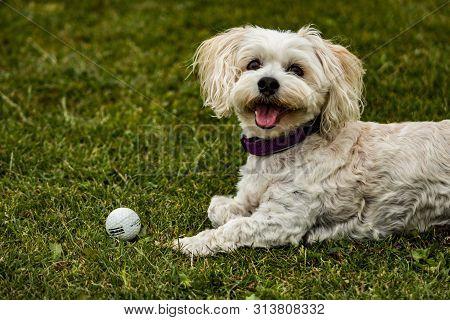 Bichon Havanais Dog Looking Happy With Golf Ball