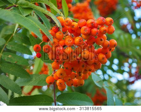 Orange And Red Rowan Berries On A Branch On The Green Leaves Background. Sorbus Aucuparia, Also Know
