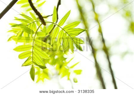 Fresh mountain ash leaves in forest. Selective focus. Close up. poster