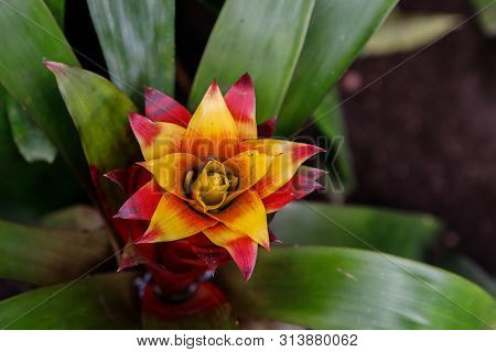 Red Bromeliad Tropical Plant Colorful Flower Blooming In Spring Season At Bromeliad Market,aechmea F