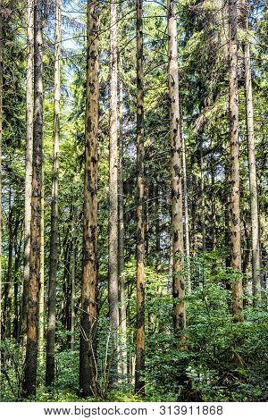 High Coniferous Trees, Sulov Rocks, Slovak Republic. Seasonal Natural Scene. Hiking Theme.