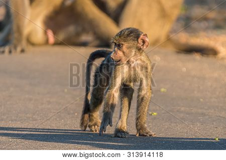 A Young Chacma Baboon, Papio Ursinus, Walking In A Road