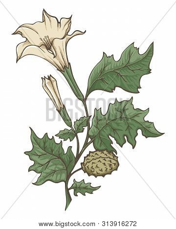 Colored Ink Sketch Of Datura Stramonium. Flowers, Leaves And Ripe Fruit. Pointillism Shading Techniq