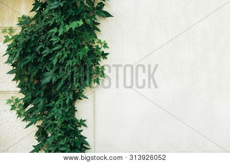 Hedera Helix, Common Ivy, English Ivy, European Ivy Evergreen Foliage On White Stone House Wall, Hor