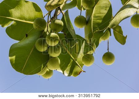 Small Green Fruit On A Tree, Seychelles