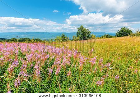 Willow Herb Purple Flowers On The Meadow. Beautiful Nature Scenery Up High In The Mountains. Trees O