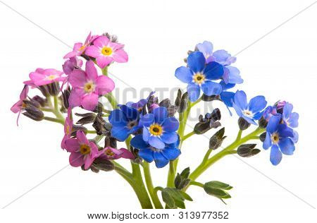 Forget-me-not Small Flower Isolated On White Background