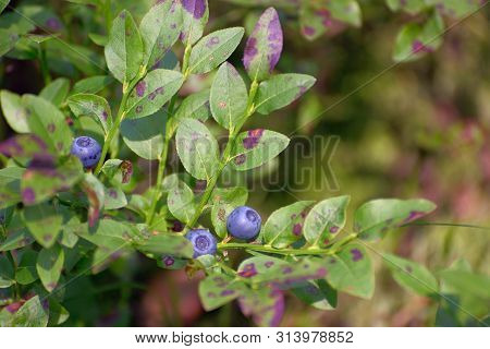 Bilberry, Wood Berry In The Forest In A Natural Environment Close-up