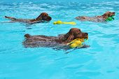 purebred three english cocker swimming in a swimming pool poster