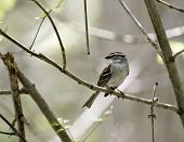 Chipping sparrow perched on a tree branch poster