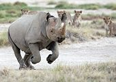 Endagered animals symbolic escape from lions ...Rhino poster